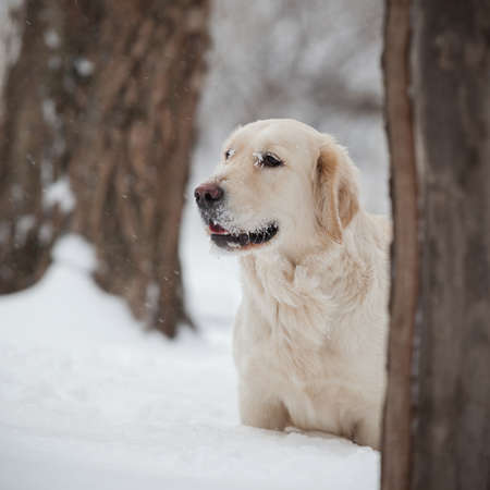 Retriever, happy winter, Walk with a friend Stock Photo