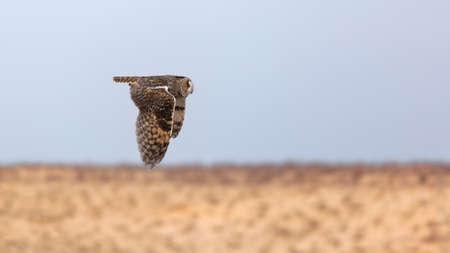 owl over the desert, night hunter