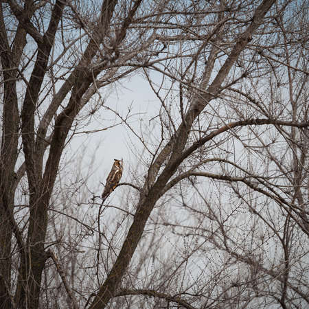 owl on a tree, Asio otus