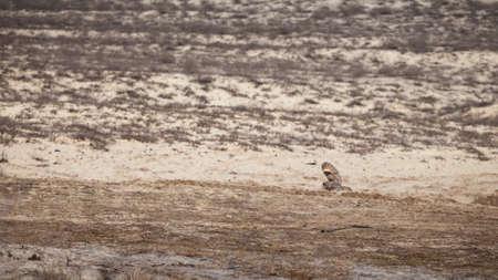 owl in flight, over the desert