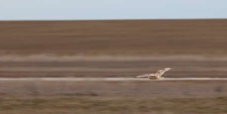 owl in flight, over the desert