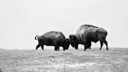Two wild buffalos fighting, bison fight