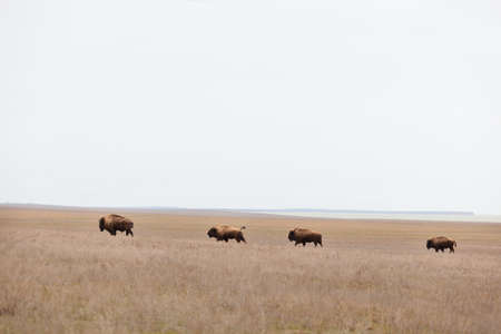bisons in the steppe, prairies