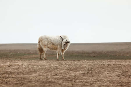 yak in the steppe