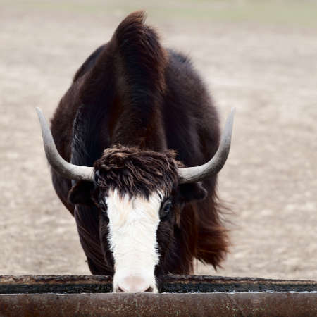 yak on a watering place
