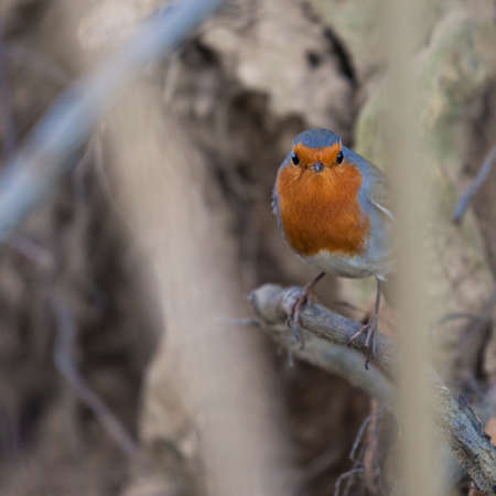 Robin in the woods in the north west, macroslope of Caucasian