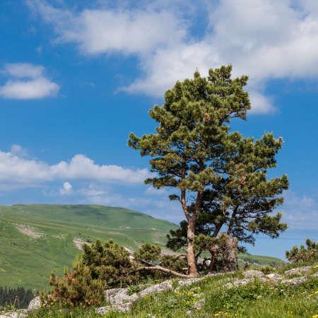 Pine over the precipice Stock Photo