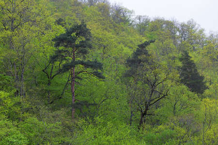 pine on a hillside in the deciduous forest