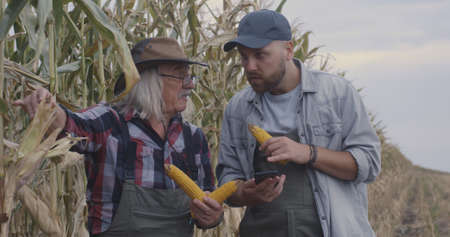 Senior and young men examining ripe corn ears and dry plants while browsing data on smartphone in agricultural field