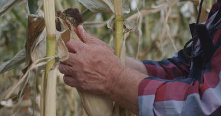 Senior man removing leaves from corn then kissing plant while working in agricultural field