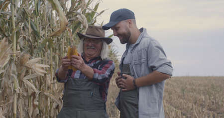 Cheerful elderly and young men smiling and comparing corn ears during harvest in agricultural field 写真素材