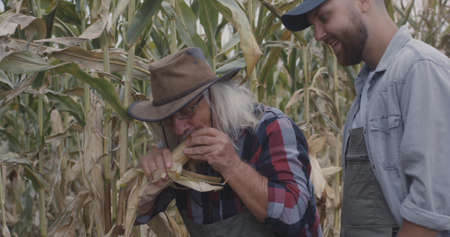 Happy senior man peeling ripe corn and talking with young successor while working in agricultural field together