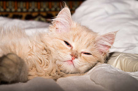 brit: Fluffy kitten, coral color. Pet, beautiful purebred Brit.