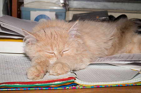Fluffy kitten, coral color. Pet, beautiful purebred Brit.