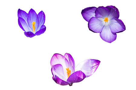 Violet crocus blossoms isolated on white background.