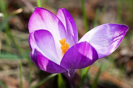 Violet crocus flowers bloom in the flowerbed.