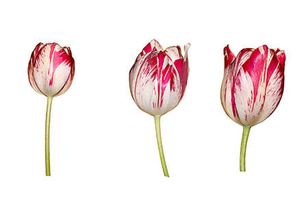 no way out: Collection of different tulips isolated over white background Stock Photo