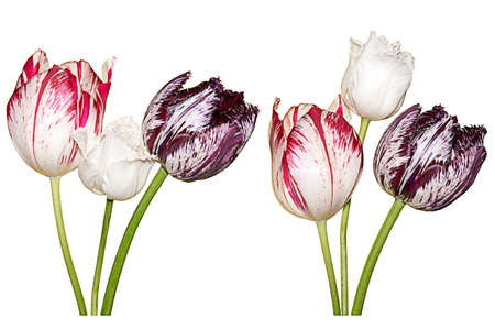 Collection of different tulips isolated over white background Standard-Bild
