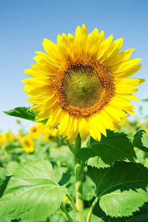 Beautiful sunflower in the field with bright blue sky photo