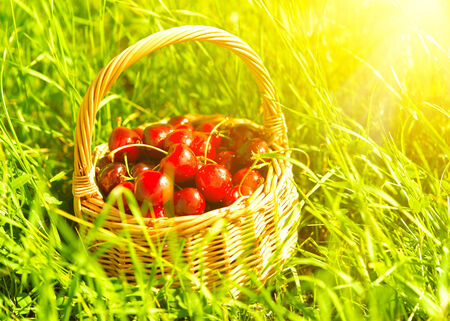 juicy ripe cherries in a basket on the green grass in nature photo