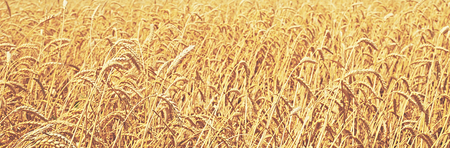 wheat field. natural background photo