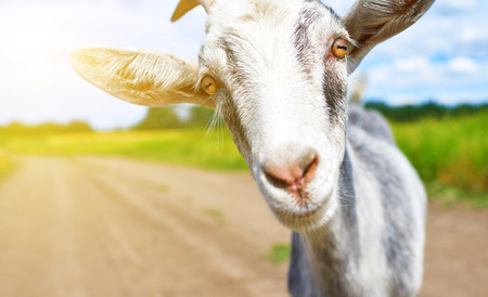 smiling goat: goat in the summer outdoors in nature Stock Photo