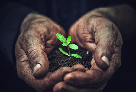 crecimiento planta: las plantas j�venes brotan en la vieja sucia manos, el concepto