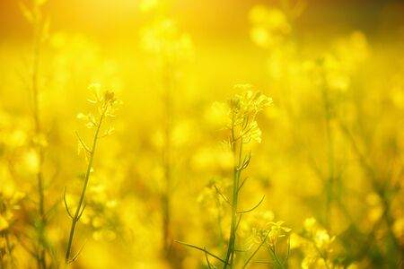 yellow wildflowers: the natural floral background, yellow wildflowers
