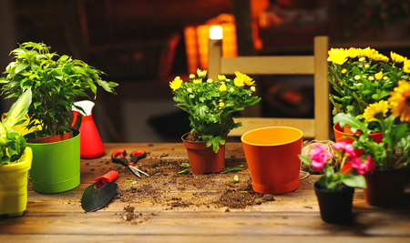 dug: Transplanting pot flowers plant on the table at home Stock Photo
