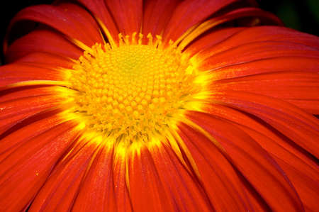 Close-up on orange Chrysanthemum photo