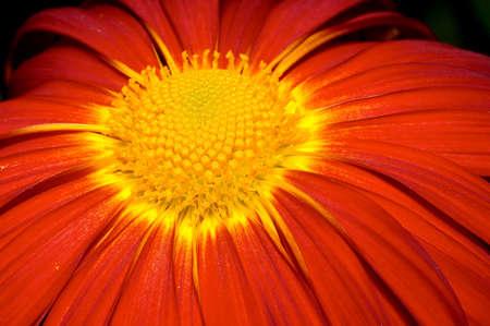 Close-up on orange Chrysanthemum photo