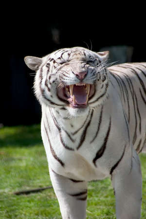 White tiger saw an opponent and protecting his territory photo