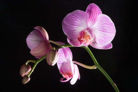 Gorgeous pink orchid flower on black background photo