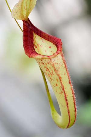 Tropical exotic carnivorous pitcher flower, Nepenthes sp., waits for any small insect to close and eat it Stock Photo - 719841