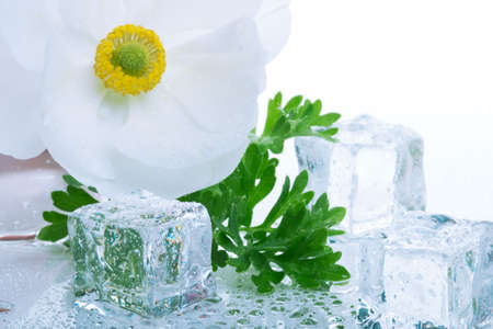 Closeup of white ranunculus flower on wet reflection surface and azure colored ice cubes melted in water for cocktail Stock Photo - 804571