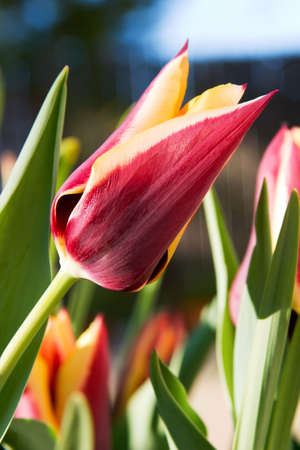 Many blooming spring tulips over sunrise clear sky photo