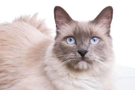 Curious blue colored eyes ragdoll cat  photo