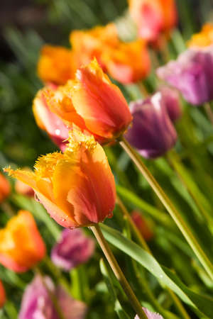 Blooming spring tulips  photo