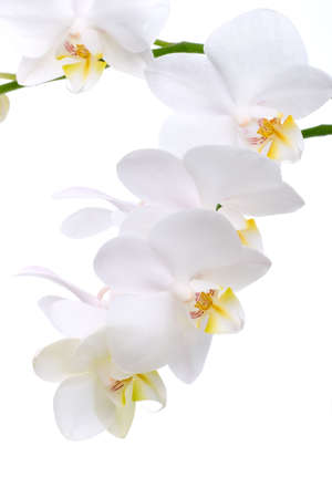 Gorgeous white phalaenopsis orchid flower on white background