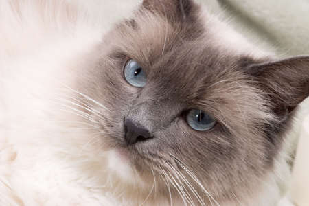 Curious blue colored eyes ragdoll cat over green colored backdrop photo