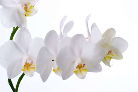 with white: Gorgeous white phalaenopsis orchid flower on white background