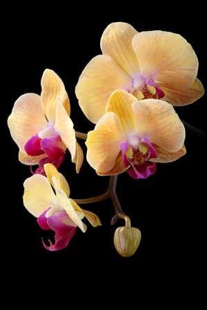 Gorgeous peach colorato phalaenopsis orchid fiore su sfondo nero  Archivio Fotografico - 6490234