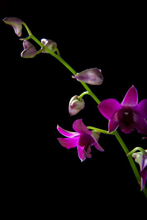 Gorgeous magenta colored Dendrobium orchid flower on black background photo