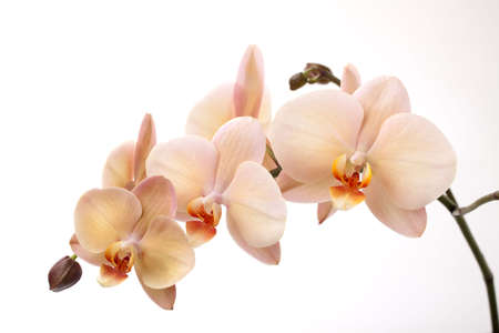 Gorgeous cream colored phalaenopsis orchid flower over white background Stock Photo