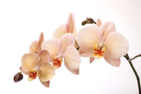 orchids: Splendida crema colorata phalaenopsis orchid fiore su sfondo bianco Archivio Fotografico