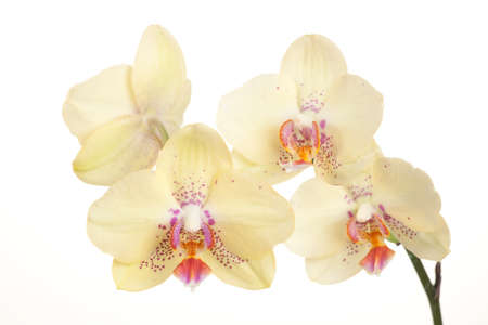 yellow: Gorgeous light yellow orchid flower over white background (Phalaenopsis genus)