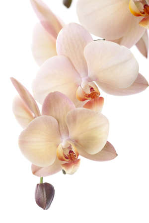 Gorgeous cream colored phalaenopsis orchid flower over white background photo