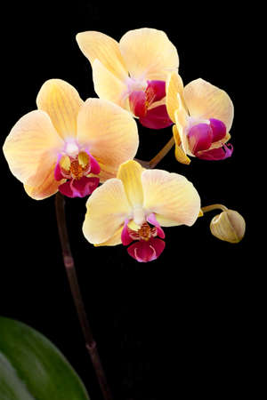 orchids: Gorgeous peach colored phalaenopsis orchid flower on black background