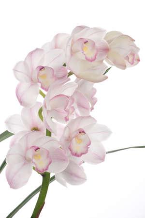 Gorgeous white pink Cymbidium orchid flower over white background photo