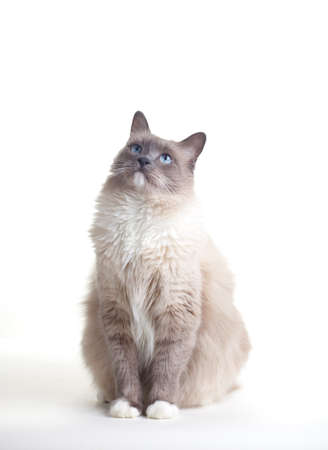 Curious blue colored eyes ragdoll cat over white backdrop photo